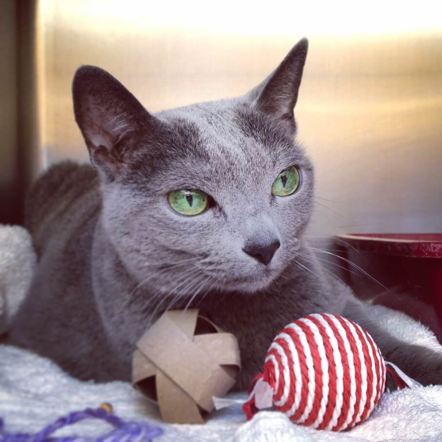 Best Toy for your Russian Blue
