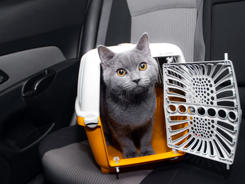 Traveling In A Car With A Russian Blue Cat