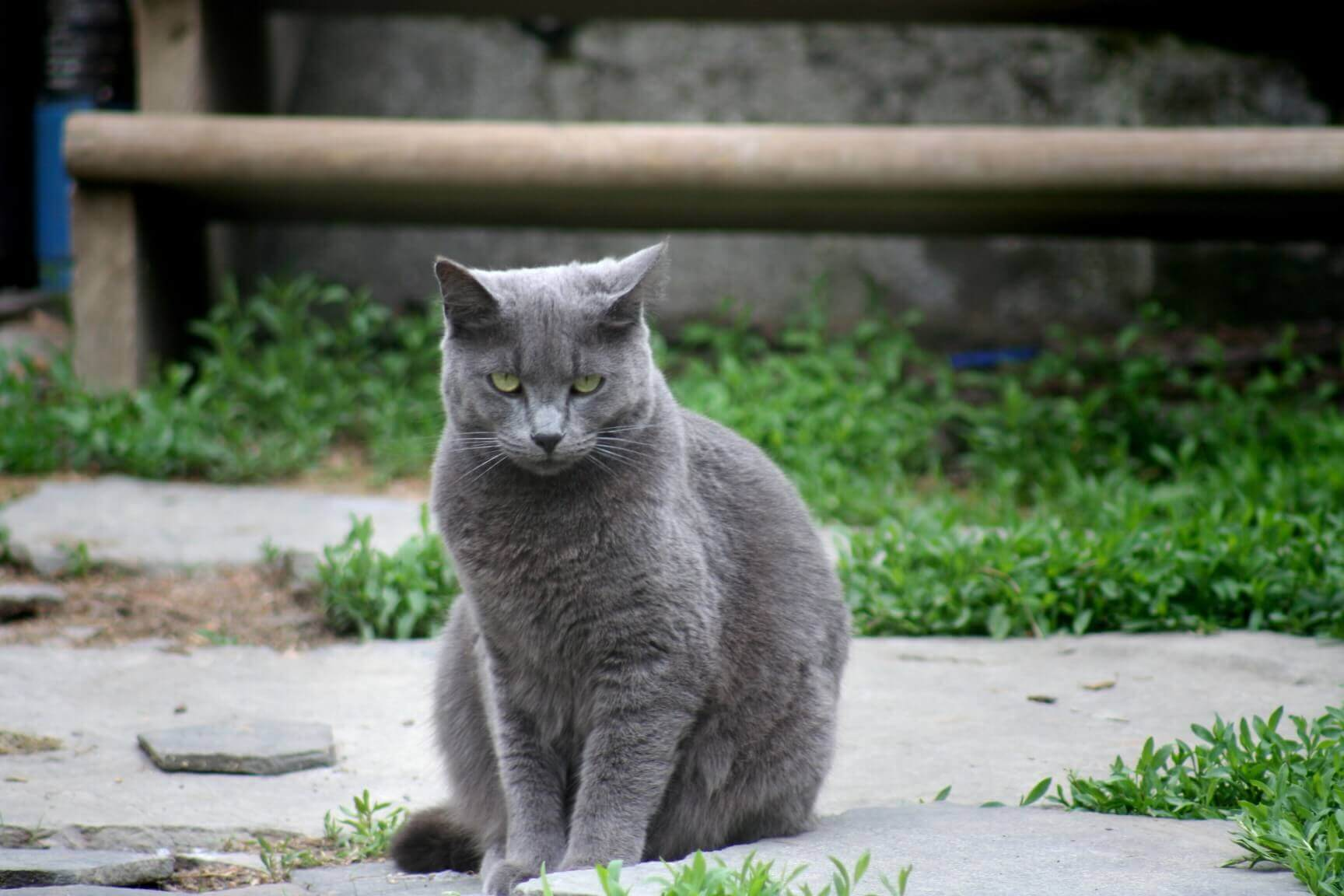 Ways to Let Russian Blue Cat Outside