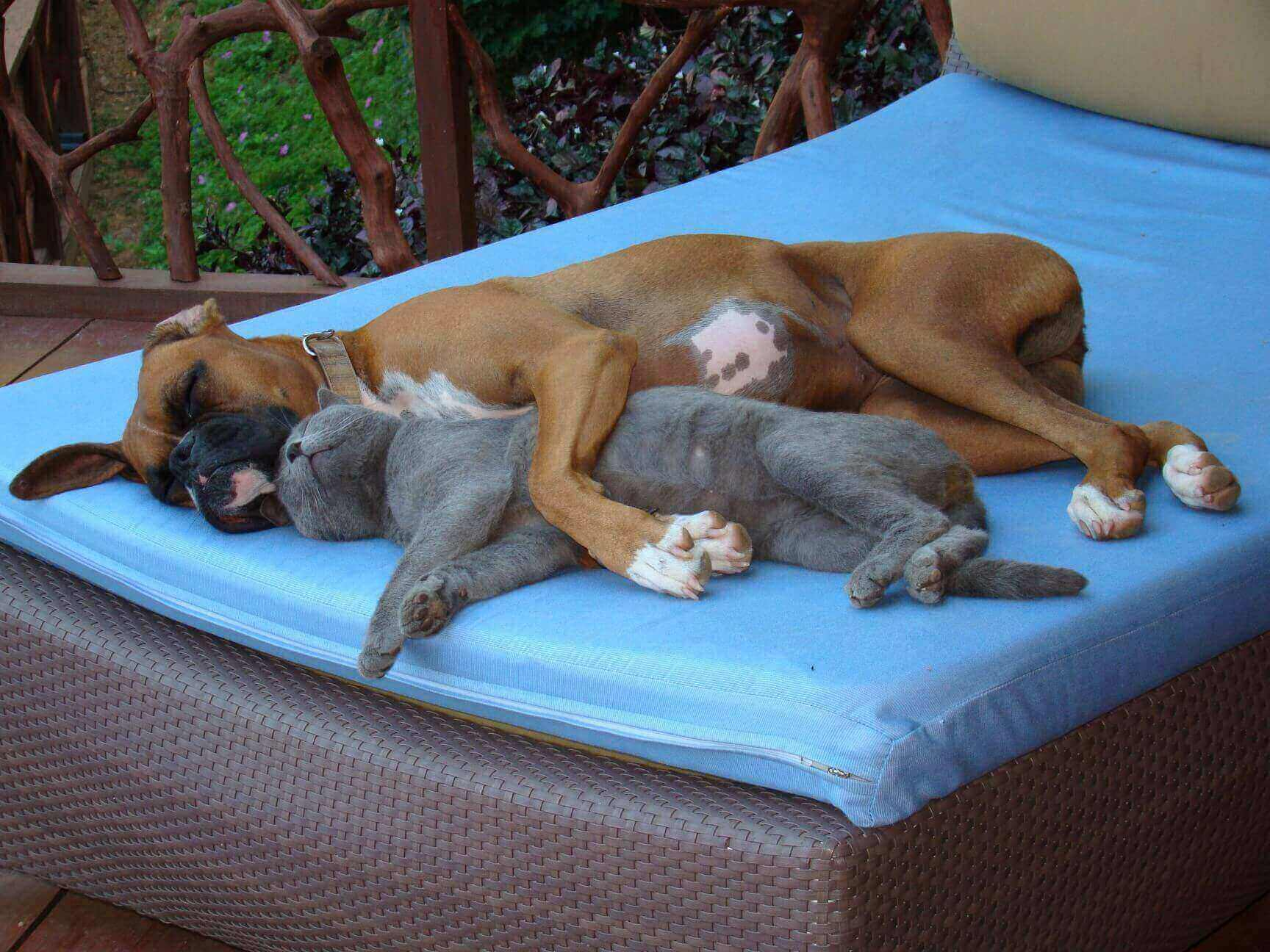 Are Russian Blue Cat Good With Dogs