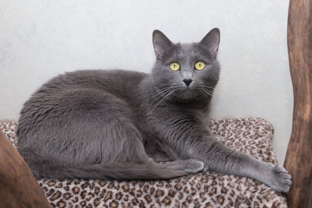 why russian blue cats are the best