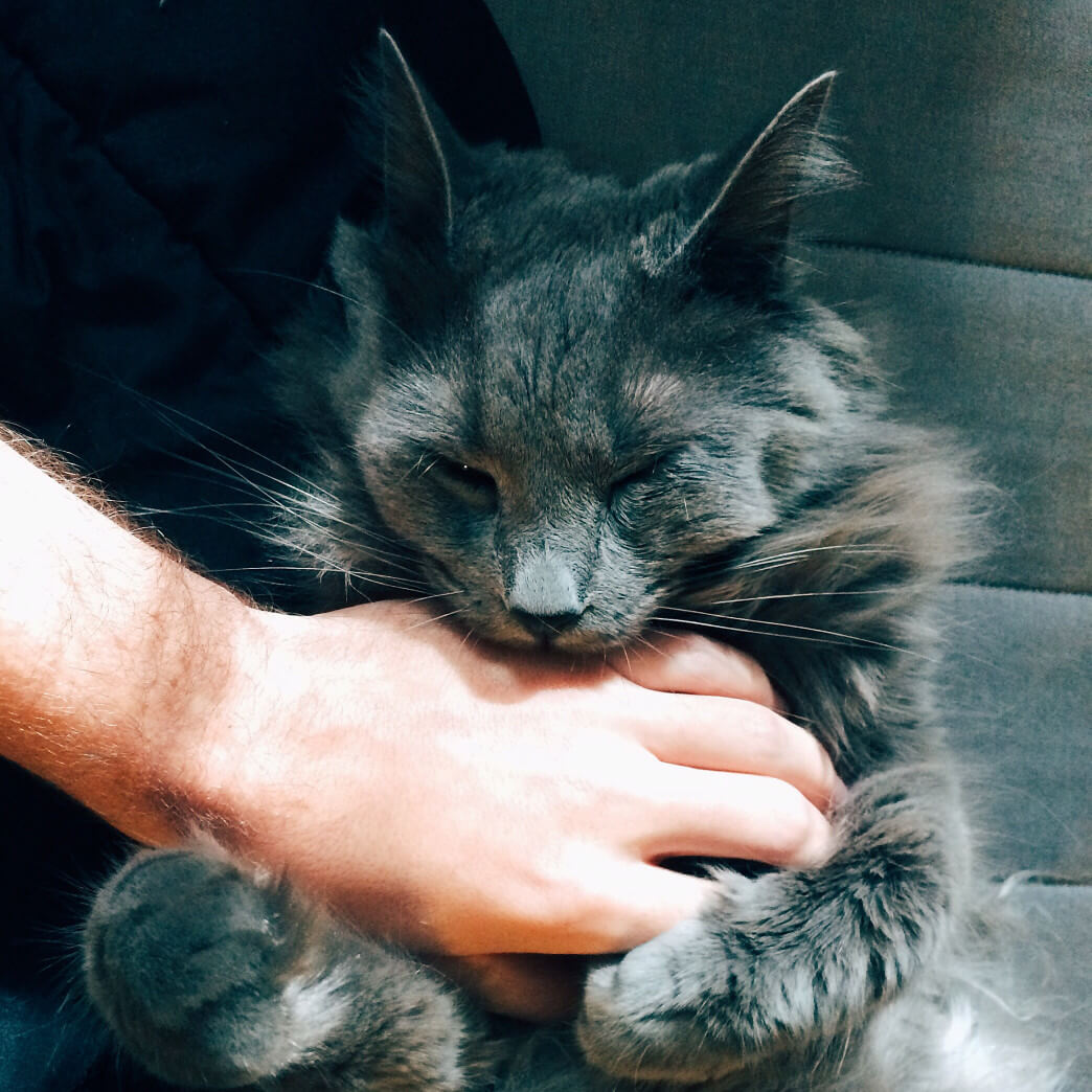 Do Russian blue Cats Like To Cuddle