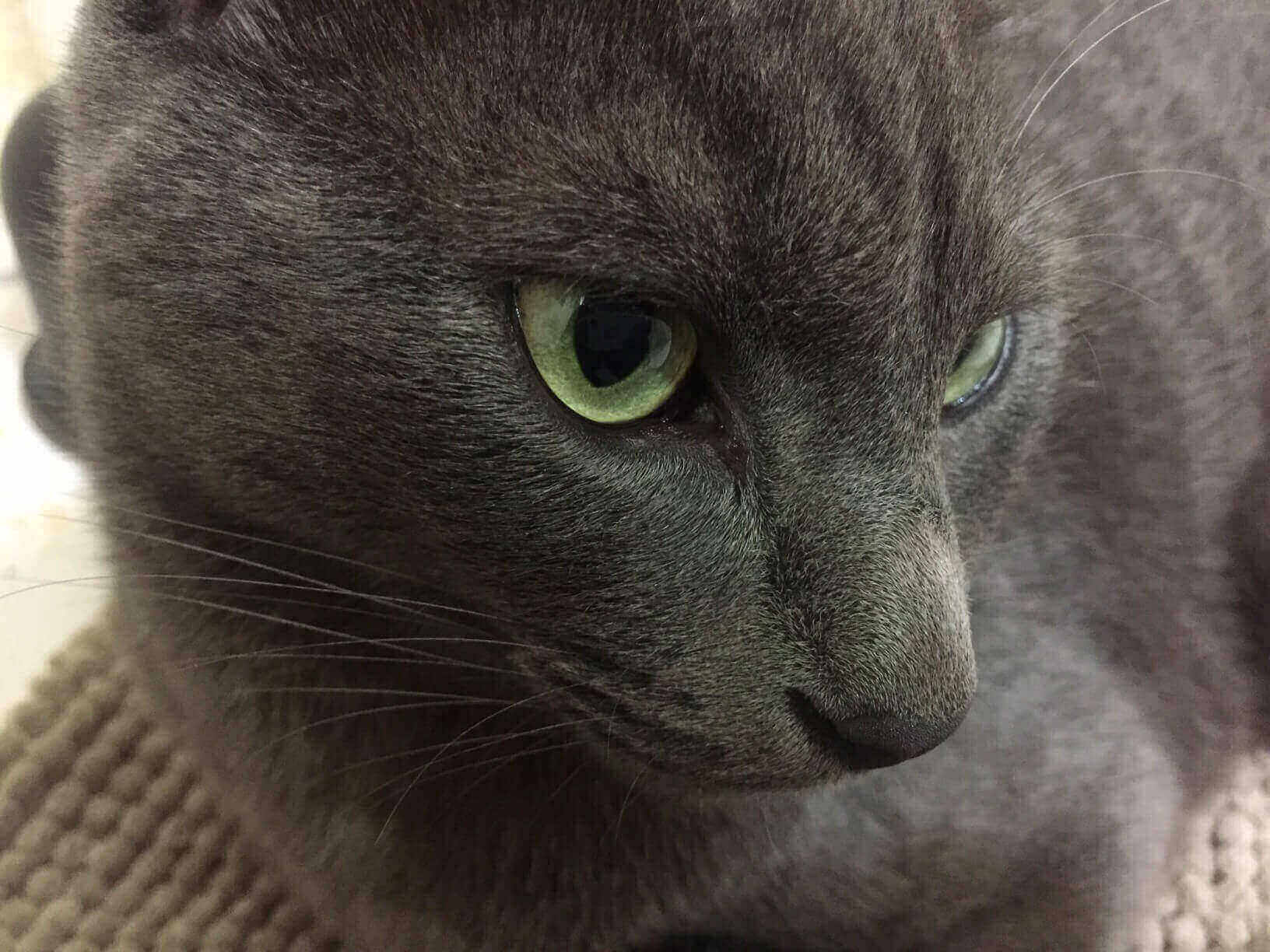 Create Great Space for Russian Blue Cat
