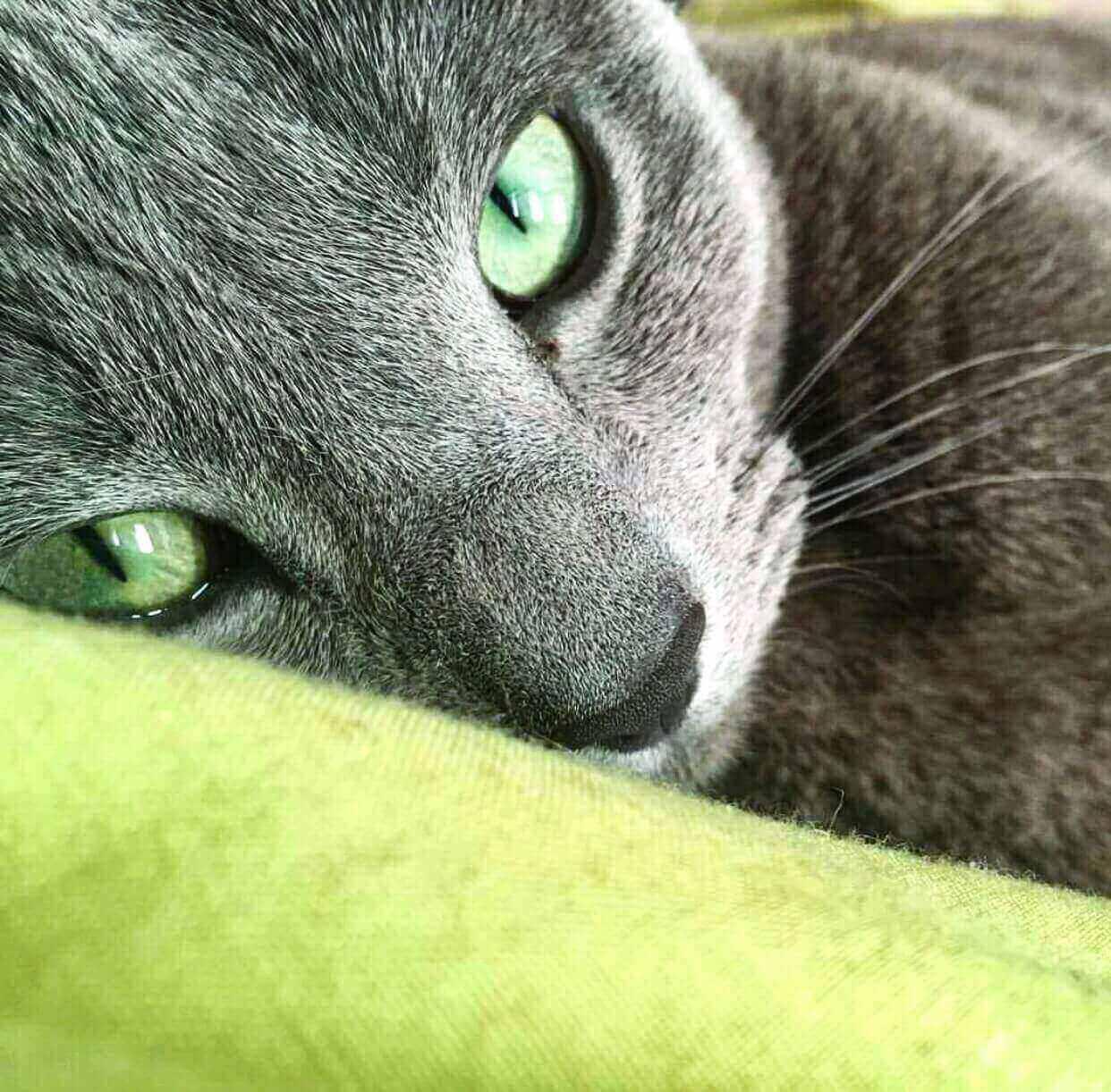 What Age Do Russian Blue Cat's Eye Turn Green
