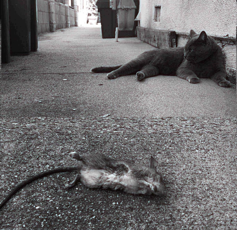 Can Russian Blue Cat Catch Mice