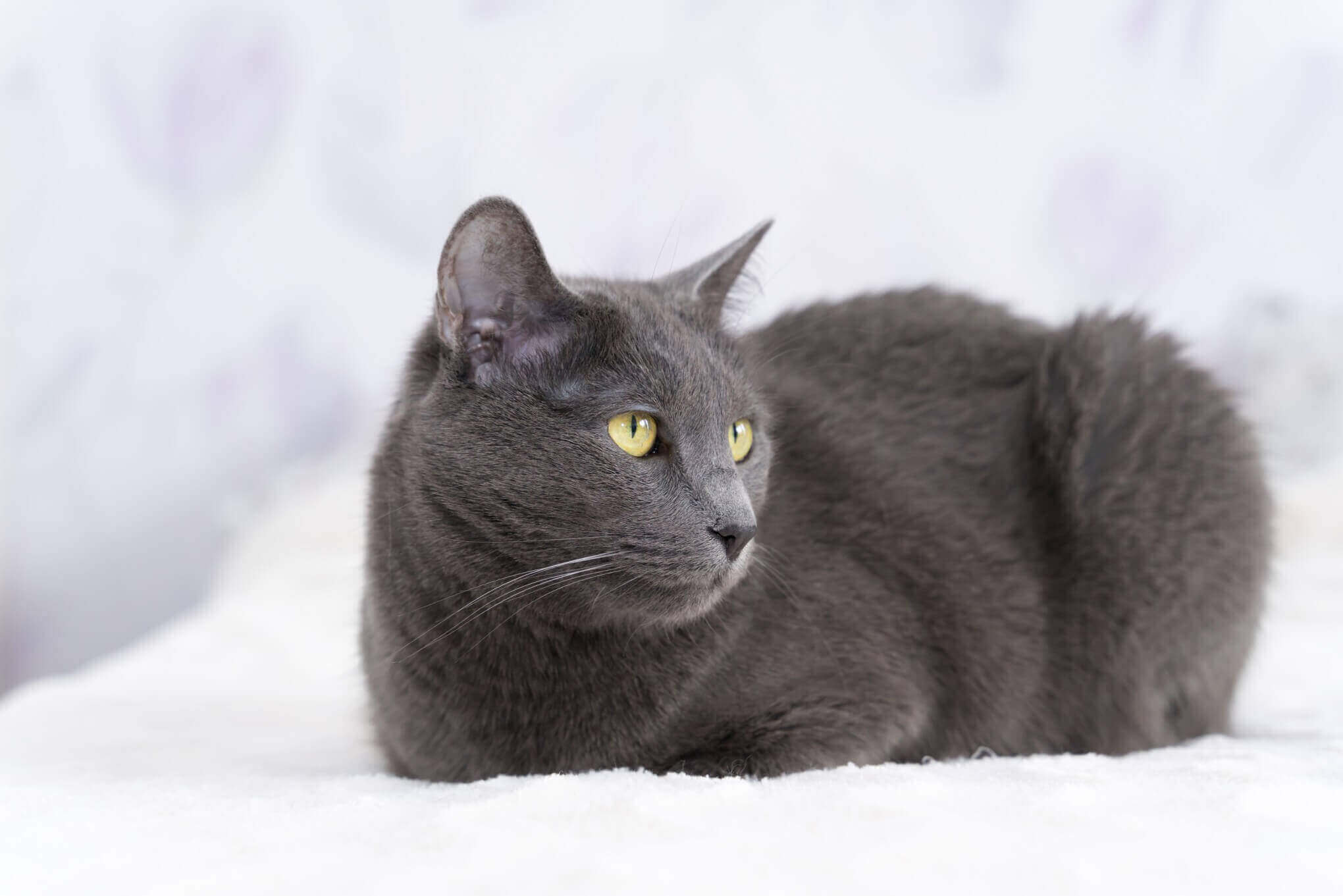 How Long Are Russian Blue Cats Pregnant For