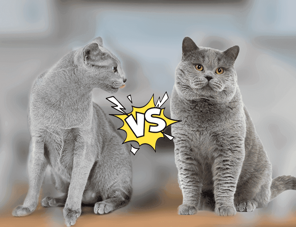 Russian Blue Vs British Shorthair
