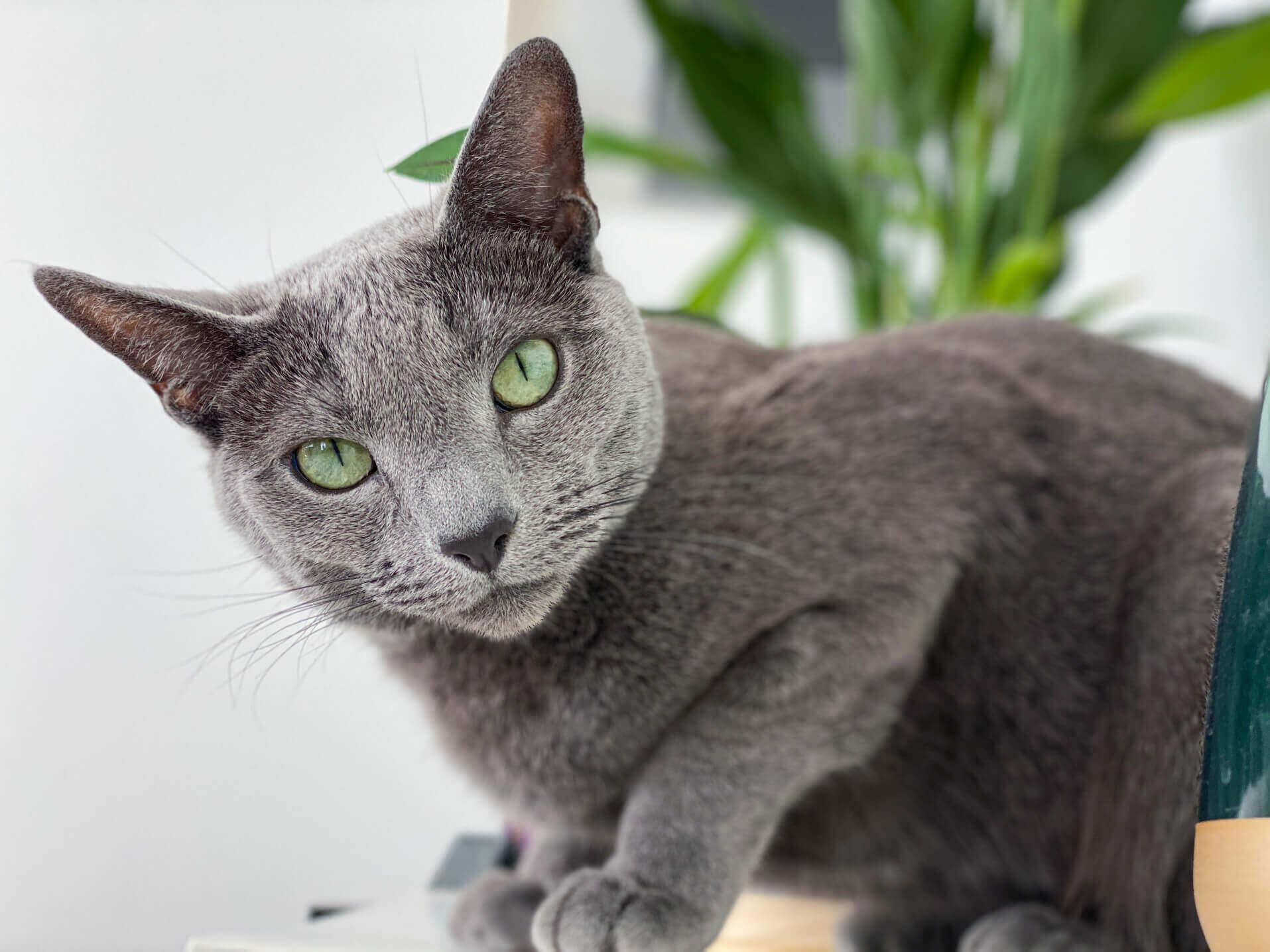 Keep Russian Blue Cat Safe