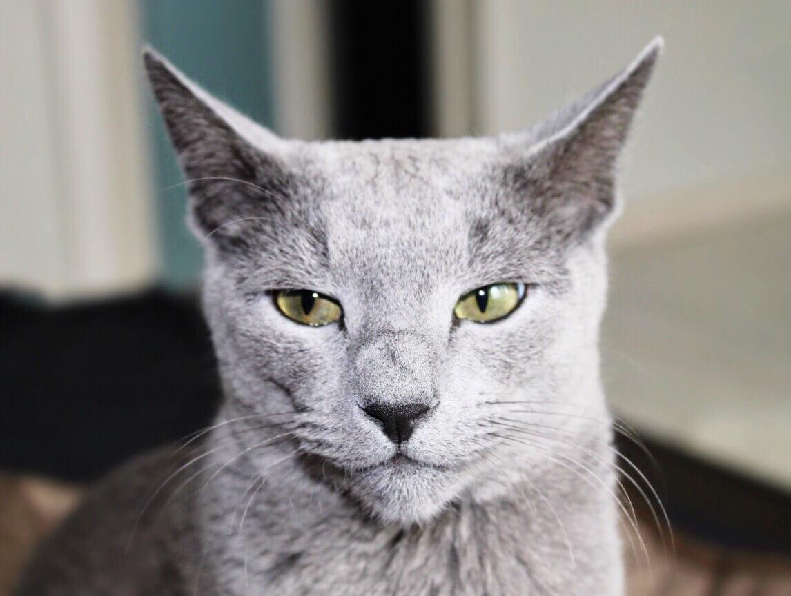 Do Russian Blue Cat Shed A Lot