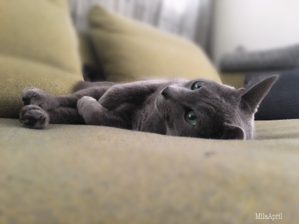 How Many Kittens Can A Russian Blue Have