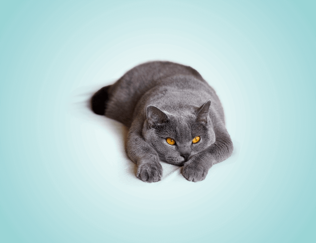 Do Russian Blue Cats Get Fat