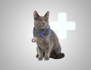 Lifespan of Russian Blue Cat
