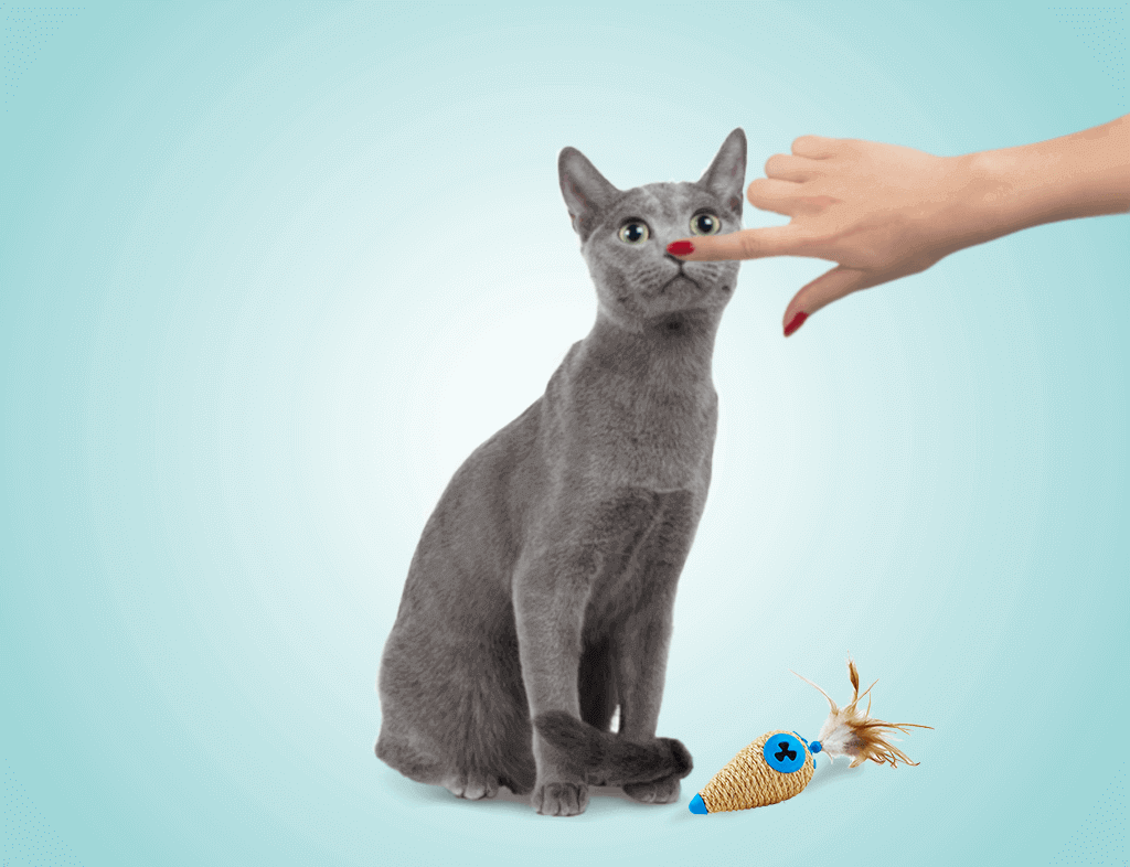 How to Play With Your Russian Blue Cat