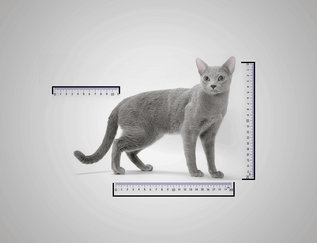Russian Blue Cat Size